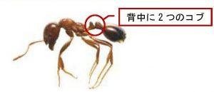 """横浜港本牧ふ頭D突堤で発見された """"ヒアリ""""の状況について"""
